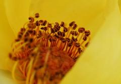 DSC_0966 (PeaTJay) Tags: nikond750 sigma reading lowerearley berkshire macro micro closeups gardens outdoors nature flora fauna plants flowers rose roses rosebuds