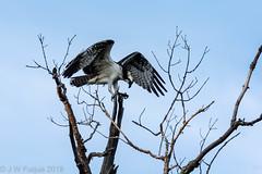 Balance (jwfuqua-photography) Tags: osprey nature jwfuquaphotography peacevalleynaturecenter jerrywfuqua birdsofprey birds buckscountyparks buckscounty pennsylvania