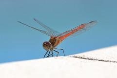 Sympètre Rouge Sang (1) (yom1) Tags: insecte insect sympetre sympetrum sympètre sympètrerougesang libellule dragonfly darter red europe france provencealpescotedazur provence côtedazur var saintemaxime yom1 eos6dmkii 6dmkii ef70300isusm 70300 ef70300usm libellulidae arthropoda hexapoda odonata explore explored inexplore rouge bleue bleu posé landed