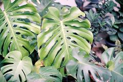 (Sunshine Thief) Tags: analog 35mm film olympusom1 zuiko 50mm om1 nature summer wanderlust wanderfolk tropical rainforest floral