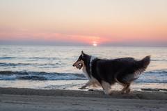 34/52 Leia & run, run (shila009) Tags: leia perro dog run corre sunrise beach water sea sky cielo roughcollie happydog light colores summer verano