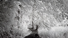 Take a stroll with me ;o) (Elisafox22) Tags: elisafox22 sony a5000 irconverted infrared 850nm sony55210mmtelephotolens 55210mm telephoto lens monochrome park trees branches leaves foliage lochsidewalk fyvie fyviecastle aberdeenshire scotland blackandwhite monotone shadows bw mono greyscale elisaliddell©2018