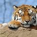 Tiger 0412 6262