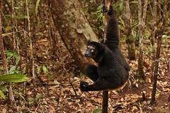 IMG_9716  Indri lemur (Indri indri) (Kalina1966) Tags: madagascar animals lemur