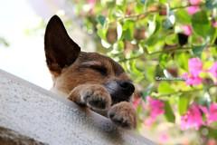 Pesca (CarloAlessioCozzolino) Tags: pesca cane dog sogni dreams relax
