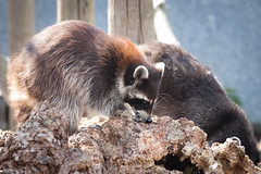 Raccoon in search of food (chrisellis211) Tags: raccoon animal