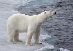 On the Edge (alicecahill) Tags: origoexpedition svalbard norway wildlife ©alicecahill travel scandinavia europe cold animal bear mammal wild arctic snow polarbear