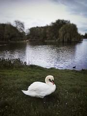 Swan by the lake (kristianvukadinovic) Tags: swan lake almere leeghwaterplas grass whiteswan