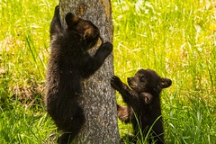 Race you (ChicagoBob46) Tags: blackbear cub cubs bear yellowstone yellowstonenationalpark nature wildlife coth5 ngc npc