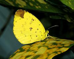 Eurema floricola ceres ( Preparing for the night on a croton leaf in my backyard) (jeanmarie.gradot) Tags: g15 canon garden ditrysia lepidoptera lépidoptère papilionoidea piéride fleur coliadinae