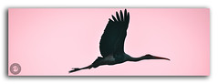 Let your dreams take flight! (FotographyKS!) Tags: paintedstork stork silhouette waterbirds wadingbird sunset sun feather bird flying flight wildlife animalsinthewild animal sunlight nature beautyinnature panorama safari animals backgrounds travel scenics panoramic horizontal backlit landscape orangecolor yellow black outdoors bright swimminganimals animalwing lighteffect freshwaterbird clearsky relaxation dusk evening majestic autumn sunrise inspirational spiritual freedom imagination tropical sunshine vibrantcolor photography