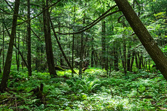 (ChabelaFoto) Tags: nature paysage landscape forêt forest arbre tree campagne country sentier pathcantondelest rural granby quebec ruisseau watercourse vert green