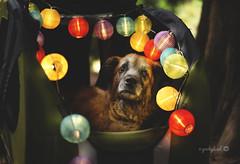 35/52 - celebrate 14 1/2! (yookyland) Tags: 52weeksfordogs 2018 misty 3552 dog rainbow lanterns lights dogstroller woods trees
