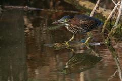 Green Heron (gh_trker) Tags: nikon d7200 hendrievalley burlington ontario greenheron