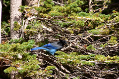 Blue Bird (MarkusR.) Tags: mrieder markusrieder nikon d7200 nikond7200 vacation urlaub fotoreise phototrip usa 2017 usa2017 colorado rockymountains rockymountainnationalpark hiking wandern trail wanderweg landscape landschaft mountains berge natur nature bearlake haiyahacutofftrail glaciergorgetrail vogel bird animal tier bluebird wildlife