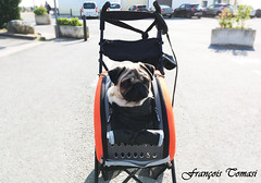 E.T. l'extra-terrestre (François Tomasi) Tags: pug chien dog carlin françoistomasi