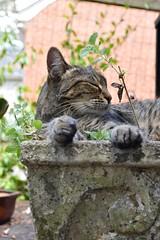 Camille (rootcrop54) Tags: camille female mackerel tabby concrete vintage planter catnip catmint neko macska kedi 猫 kočka kissa γάτα köttur kucing gatto 고양이 kaķis katė katt katze katzen kot кошка mačka gatos maček kitteh chat ネコ