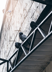 supervisors (lera_abrakadabra) Tags: doves monochrome outdoor supervisors grey diagonal birds urban everydaylife casual reallife streetphotography streetscene citylife cityscape