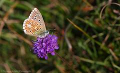 Adonis Blue (Polyommatus bellargus) (Nicholas Berkley) Tags: butterfly lepidoptera insect nicholas berkley adonis blue macro wildlife nature bug