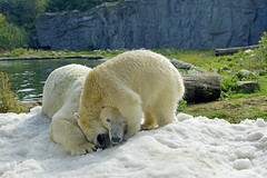 Nanook & Lara (Michael Döring) Tags: gelsenkirchen bismarck zoomerlebniswelt zoo eisbär nanooklara eiszeit afs2470 d800 michaeldöring