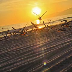 Seagulls in the sunset (Robyn Hooz) Tags: gabbiano seagull flock stormo spiaggia santamonica california sunset tramonto sand horizon gold uccelli unique