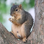 Squirrels in Ann Arbor at the University of Michigan on September 7th, 2018 thumbnail
