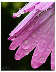 Pink Petals & Rain Drops (Bear Dale) Tags: little bit bokeh pink petals rain drops ulladulla south coast new wales shoalhaven australia dale lake conjola fotoworx milton nsw fluer flowers flower dew dof depth field african daisy nikon d850 nikkor afs micro 105mm f28g ifed vr nature beardale lakeconjola southcoast framed fleurs flores photo photograph groups group flickr