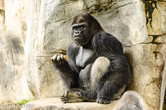 Silverback (vlxjeff) Tags: gorilla zoo nikon d7000 sitting fortworth ape stone eating grey silver texas
