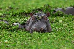 Hippopotamus (Waitandshoot - Alexandre & Chloé Bès) Tags: afrique africa safari bird mammifère mammal lion leopard rhino oiseaux canon sigma kenya masai hyene animal pelouse ours forêt arbre panther cat feline paysage oiseau eau champ girafe gnu wildbeest weaver hippopotamus giraffe