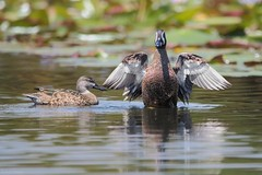 Spatula discors (Wildlife and nature - Colombia) Tags: spatuladiscors bluewingedteal barraquetealiazul teal barraquete rionegro