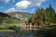 "Austrian ""wildlife""! (Jambo53 (catching up)) Tags: austria mountains bergen cows koeien lake meer nikond800 tamron2470f28"
