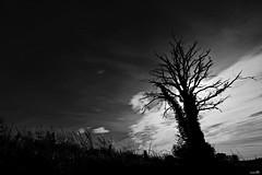 Le coup de foudre est passé là! (Un jour en France) Tags: monochrome arbre foudre contrejour noiretblanc noiretblancfrance