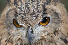 Owl (Glenn Pye) Tags: owl birds bird birdsofprey wildlife nature nikon nikond7200