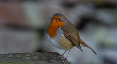 Camping Visitor. (pitkin9) Tags: bird robinredbreast erithacusrubecula wildlife naturephotography campingholiday campingvisitor peakdistrict staffordshire england