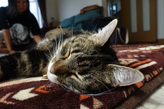 Tigger Celebrates Bonkers' Birthday with a Nap (sjrankin) Tags: 15september2018 edited animal cat kitahiroshima hokkaido japan tigger closeup livingroom floor mat sleep rest relax blurry naomi family