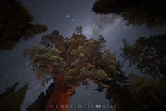 The Grizzly Giant Under the Milky Way (Charlotte Hamilton Gibb) Tags: california mariposagrove sequoia yosemite redwoods