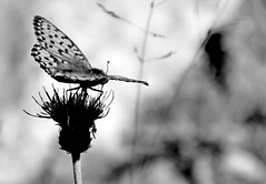 lightness in black and white (balenafranca) Tags: montseuc cogne valledaosta farfalla butterfly fiori flowers montagna mountains leggerezza lightness biancoenero bn blackandwhite