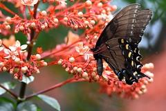 Dark morph Tiger Swallowtail DSC_3542 (blthornburgh) Tags: darkmorphtiger tigerswallowtail swallowtail swallowtailbutterfly butterfly insect flyinginsect flower pagoda bloom color