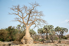 Baobab (xenonmac) Tags: namibia africa south animal etosha palmwag sesfontain zebra elephant lion lioness nikon d200 d600 nikkor 80400 af desert solitaire soussuvleiu 4x4 toyota rhino twelfontain dune sand spritzkoppe damaraland skeleton coast trail purros walvis bay flamingo national park opuwo epupa falls angola border baobab eliphantus rust puppy giraffa cheeta cubs rocks waterfall gnu kudu antilope moon landscape otarie cape cross namib