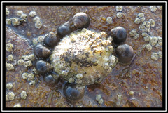 Popular Limpet (M E For Bees (Was Margaret Edge The Bee Girl)) Tags: wildlife limpet snails seaside coast outdoors canon rocks clinging circled round