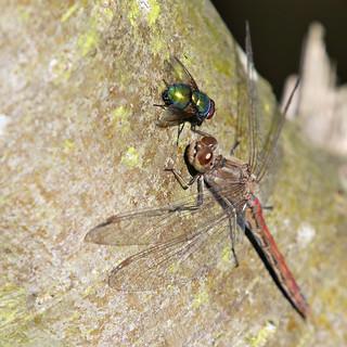 Groene vleesvlieg-Green Bottle fly (Lucilia sericata) en and de the Steenrode heidelibel-Vagrant Darter (Sympetrum vulgatum)