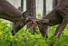 AntlerDuet (jmishefske) Tags: 2018 d850 buck fight spar milwaukee fall september antler classic nikon wildlife rack wisconsin rut parkway whitetail county head deer rootriver