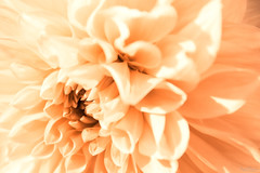 Apricot Dream (Kurt Evensen) Tags: flower glow apricot flora creamy soft petals bokeh