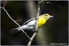 Yellow throated Vireo (RKop) Tags: raphaelkopanphotography d500 nikkor600f4evr 14xtciii shawneelookout ohio warblers warbler wildlife