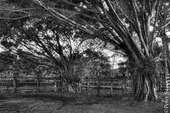 Arms stretched dark (Peter Szasz) Tags: maui hawaii kipahulu hana hdr arms branches wooden wood trees fence life black white dark landscape nature scenery tropical stretch stretching bushes contrast lonely peaceful far away countryside shadows outside roots bw blackwhite