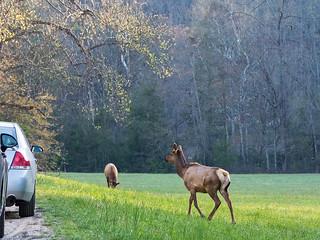 IMGPJ06221C_Fk - Great Smoky Mountain National Park - Elk