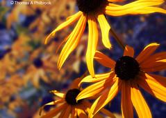 BlackEyedSusan9 (Thomas Philbrook) Tags: blackeyedsusan flowers garden annisquam annisquamriver gloucester