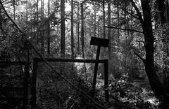 Backlight in the Forest (Neal3K) Tags: bw blackwhite georgia jchstreetpan400 nikons335mmfilmcamera filmphotographyproject