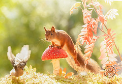 red squirrel looking at a bird from a mushroom (Geert Weggen) Tags: animal autumn bright bud cheerful closeup cute flower foodanddrink horizontal humor land lightnaturalphenomenon mammal moss mushroom nature perennial photography plant red springtime summer sweden tasting toadstool fun fight fall couple attack young bird wood fly wing air squirrel rodent bispgården jämtland geert weggen ragunda hardeko