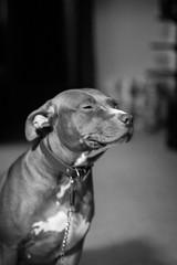 IMG_6456 (Brother Christopher) Tags: brotherchris dog pitbull pit bnw blackandwhite monochrome monochromatic bx thebronx home sitting portrait portraiture explore inexplore cute tongue pet animal